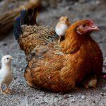 Kippen intelligent